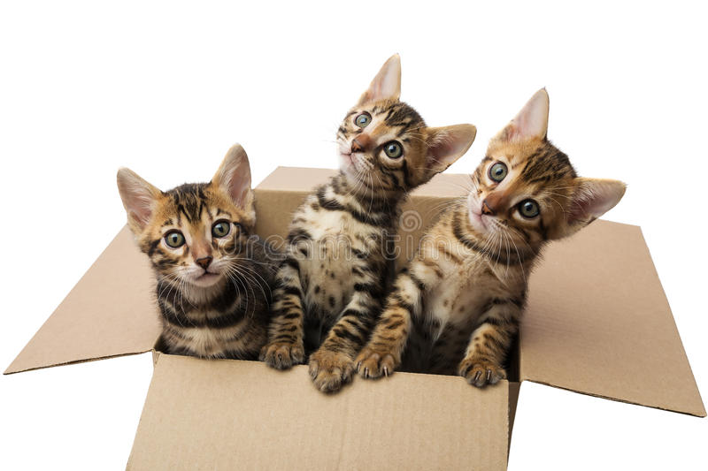 Bengal kittens royalty free stock images