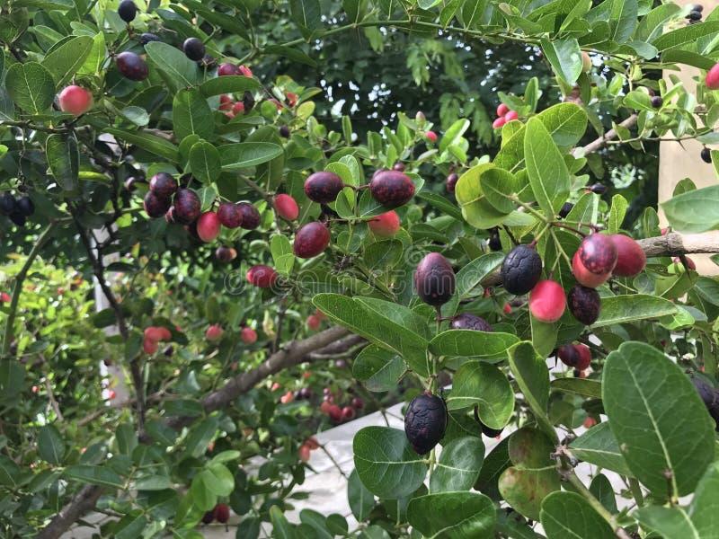 Bengal-Korinthenfrucht lizenzfreies stockbild