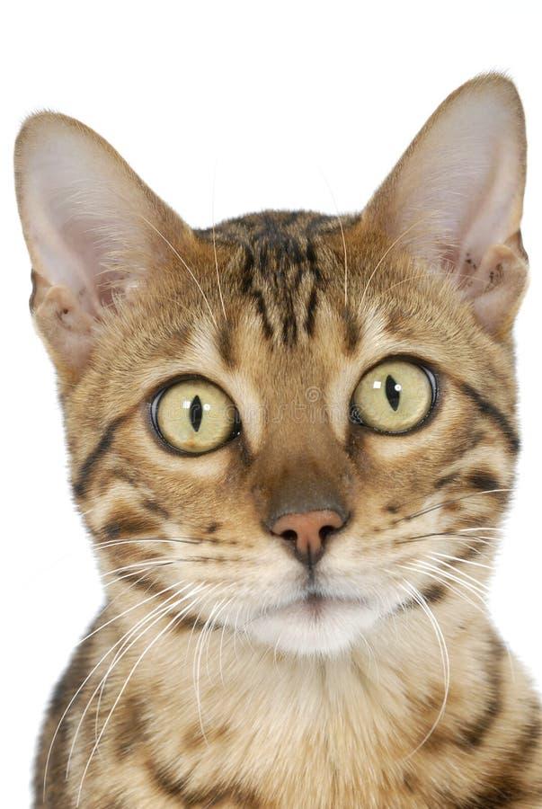 bengal kotów tygrysy obraz royalty free