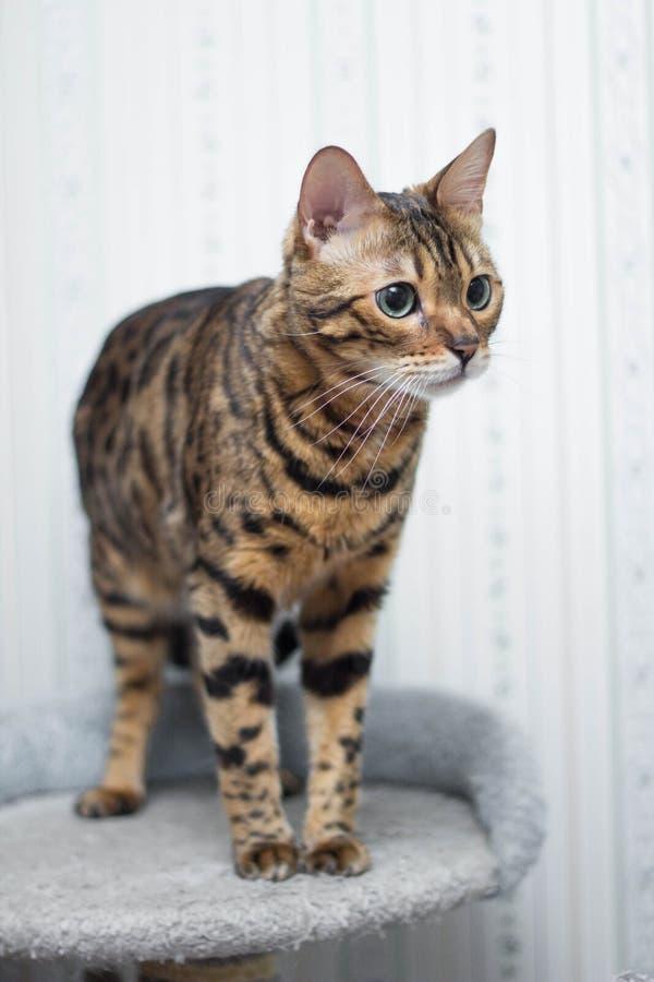 bengal kota dosiad przygotowywający zdjęcie stock
