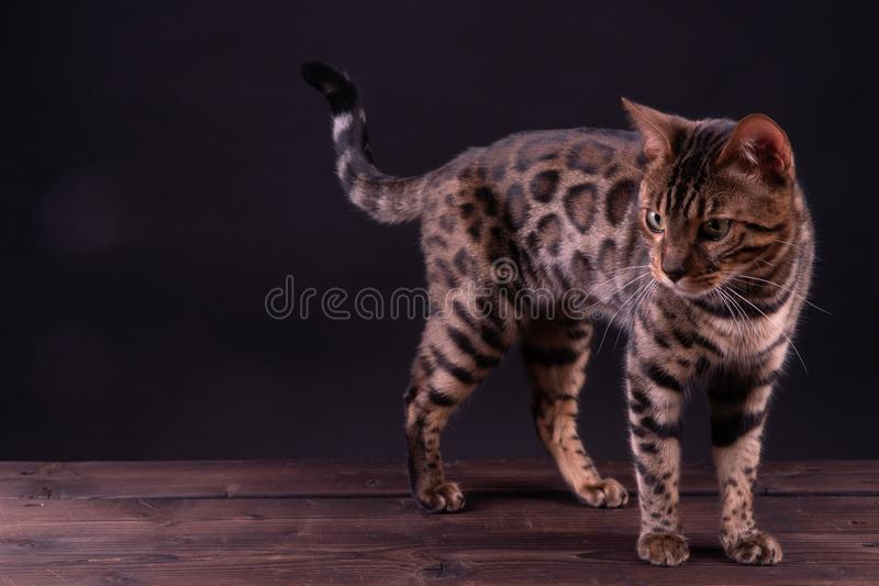 Bengal leopardkatt på trätabellen, svart bakgrund, låg tangent arkivbild