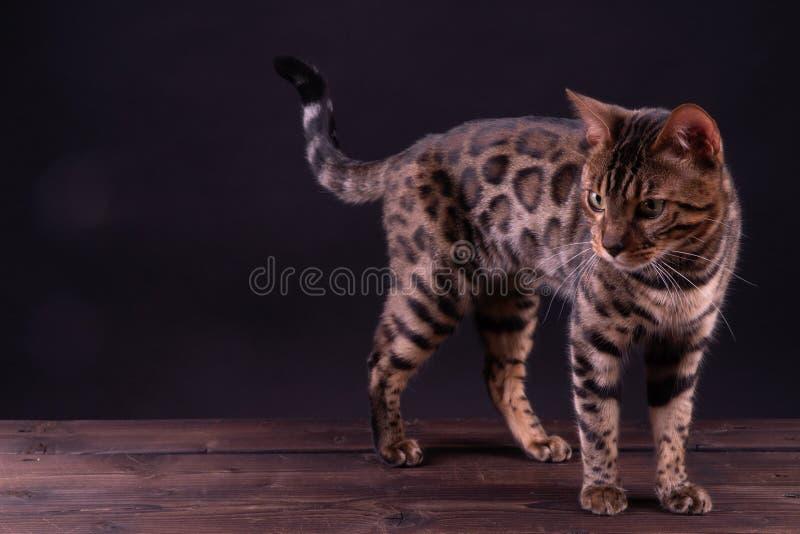 Bengal-Leopardkatze auf Holztisch, schwarzer Hintergrund, zurückhaltend stockfotografie