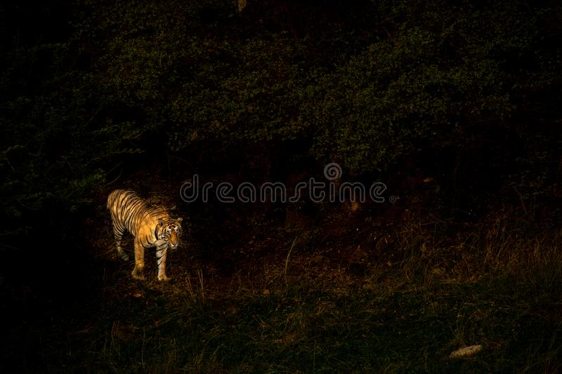 Abstract image of wild male bengal tiger full body in Sparkled Illuminated evening Light in  black background, Ranthambore stock photo