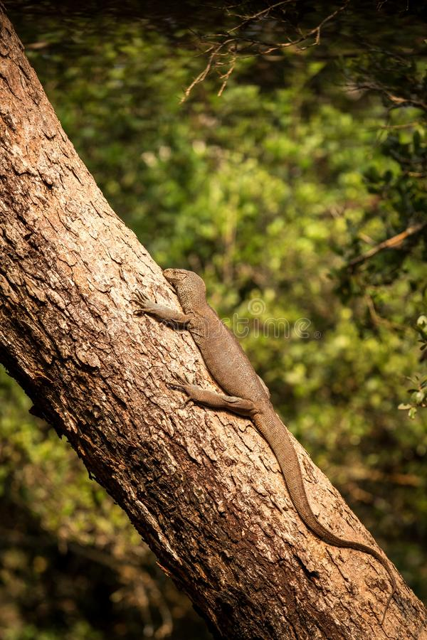 Bengal monitor lizard Varanus bengalensis. Reptile varan resting on big tree in jungle of Sri Lanka. Common Indian monitor. stock photo