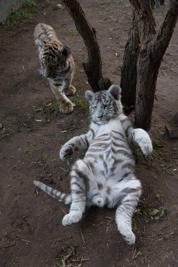 Bengal och vita tigergröngölingar på zoo royaltyfria bilder