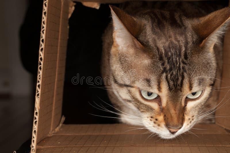 bengal pudełkowaty kartonowy kota spoglądanie obrazy royalty free