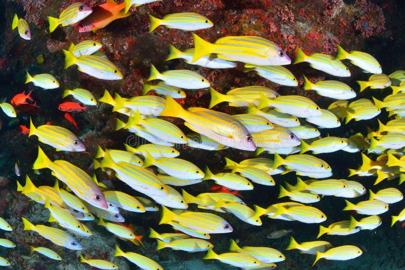 Bengal-Rotbarsch stockfotos