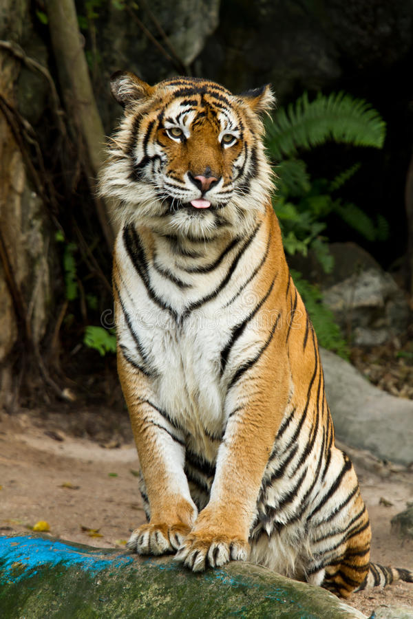 Free Bengal Tiger Royalty Free Stock Photo - 24690845