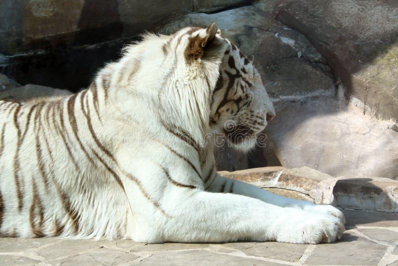 Download Bengal tiger stock photo. Image of jungle, asian, bengal - 24906364