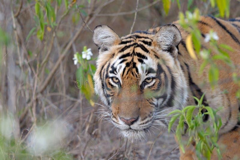 Download Bengal Tiger stock image. Image of red, tigris, redlist - 27670733