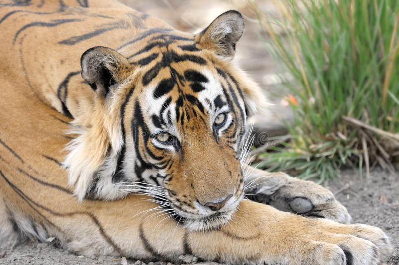 Download Bengal Tiger stock photo. Image of camouflage, feline - 27780376