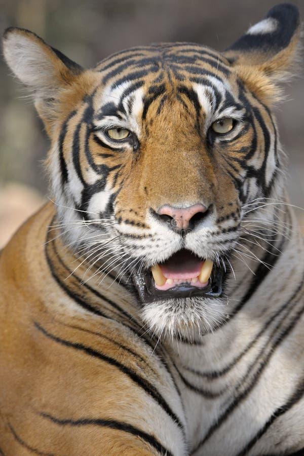 Download Bengal Tiger stock photo. Image of park, panthera, india - 27780540