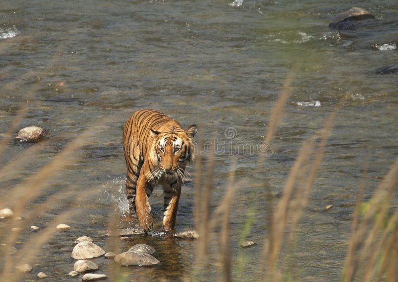 bengal tiger fotografering för bildbyråer