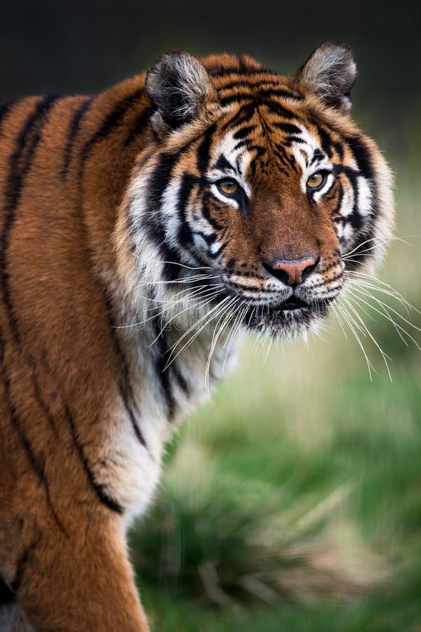 Bengal-Tiger stockfoto