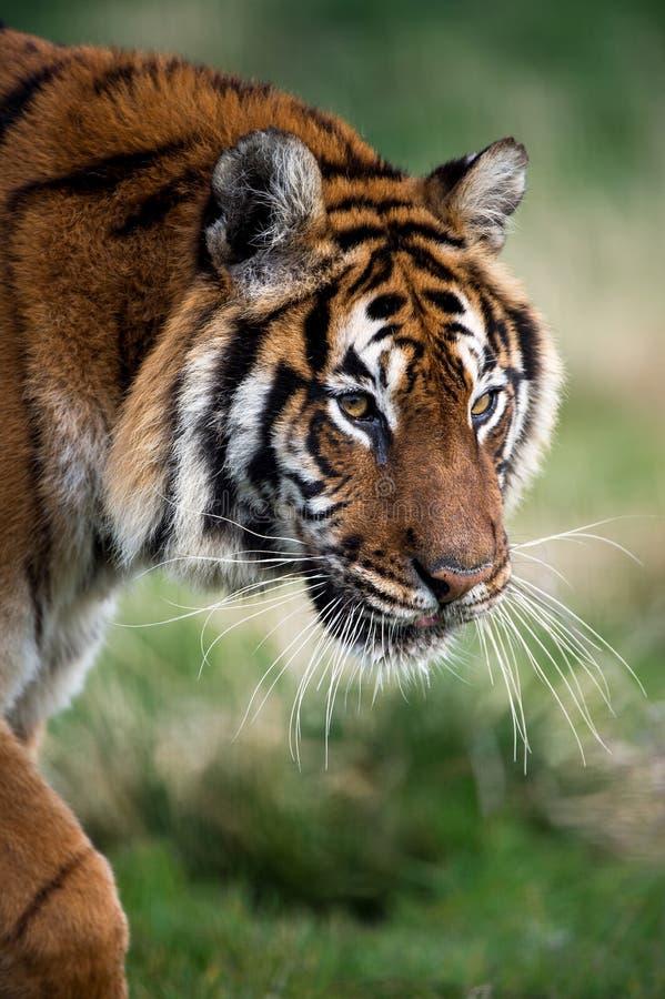 Bengal-Tiger stockbild