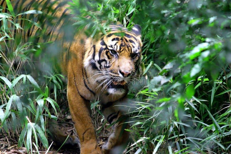 Download Bengal tiger stock photo. Image of bengal, wild, mammal - 8336028