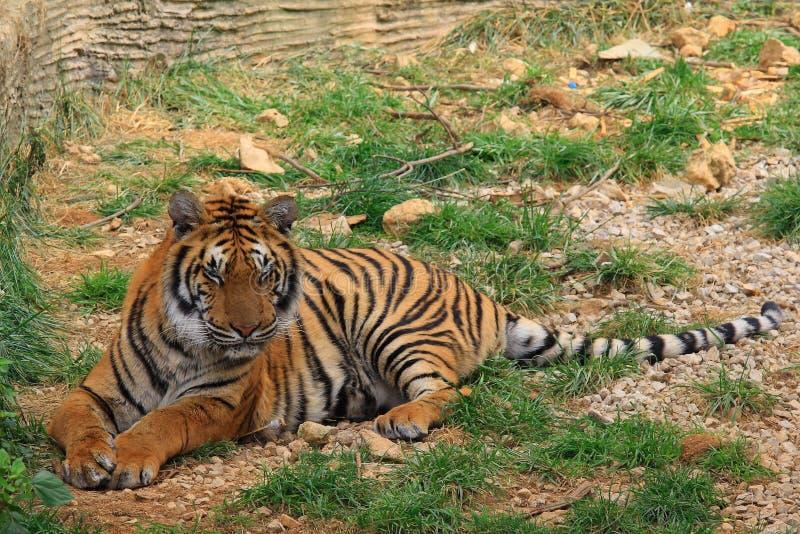 Download Bengal-Tiger stockbild. Bild von gefangenschaft, schwarzes - 9090871
