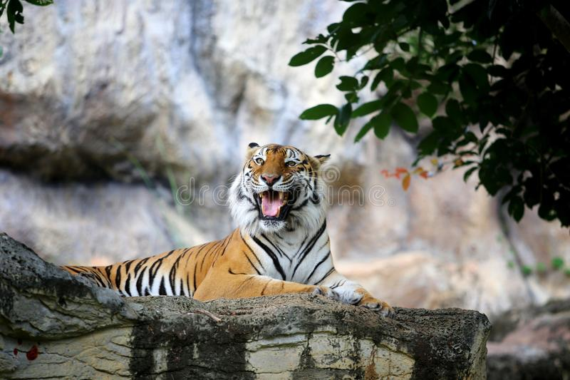 Bengal tiger action in the zoo stock images