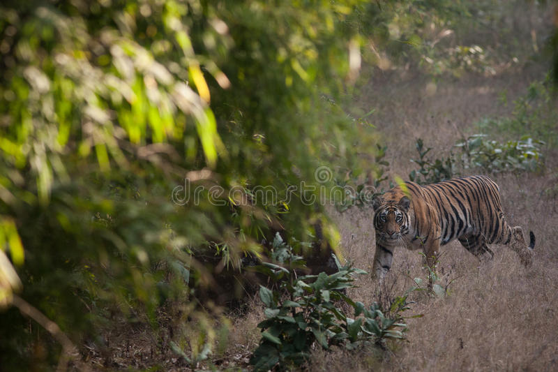 Bengal tiger in Bandhavgarh National Park. A tiger looks right at the photographer in an early morning game drive in India's Bandhavgarh National Park royalty free stock photos