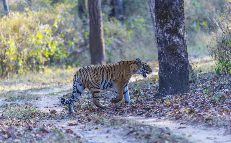 Download Bengal Tiger, Bandhavgarh Nationalpark, Indien Fotografering för Bildbyråer - Bild av skog, benetton: 106838491