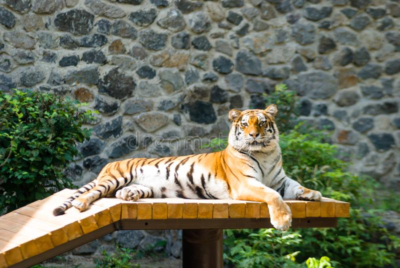 Bengal tiger basks in the sun after hunting royalty free stock images