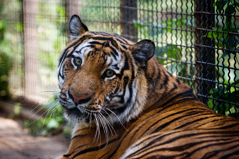 Bengal Tiger in captivity royalty free stock images