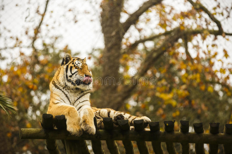 Bengal tiger in captivity. At the zoo stock image