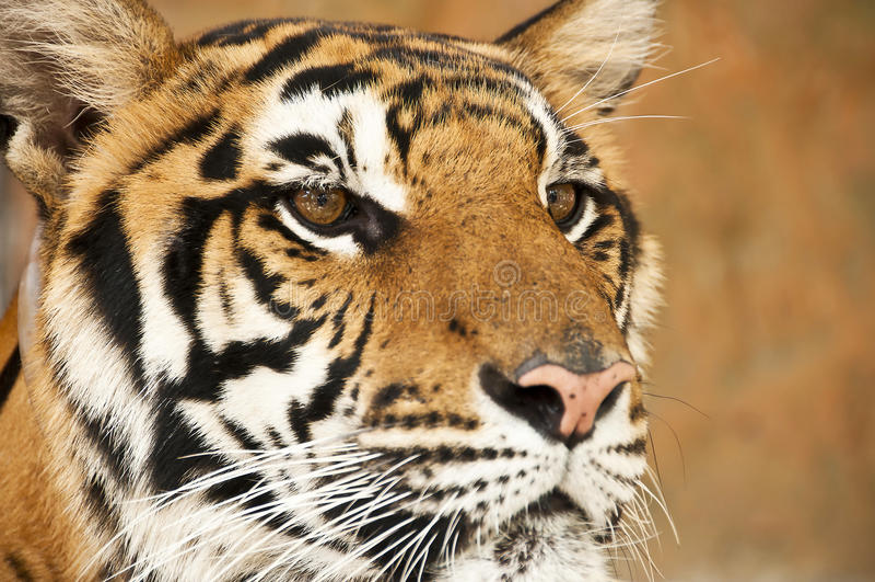 Bengal tiger. Bengal tiger close up portrait royalty free stock photography