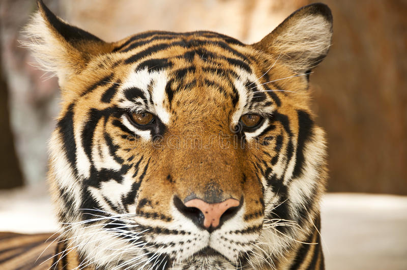 Bengal tiger. Bengal tiger close up portrait stock photos