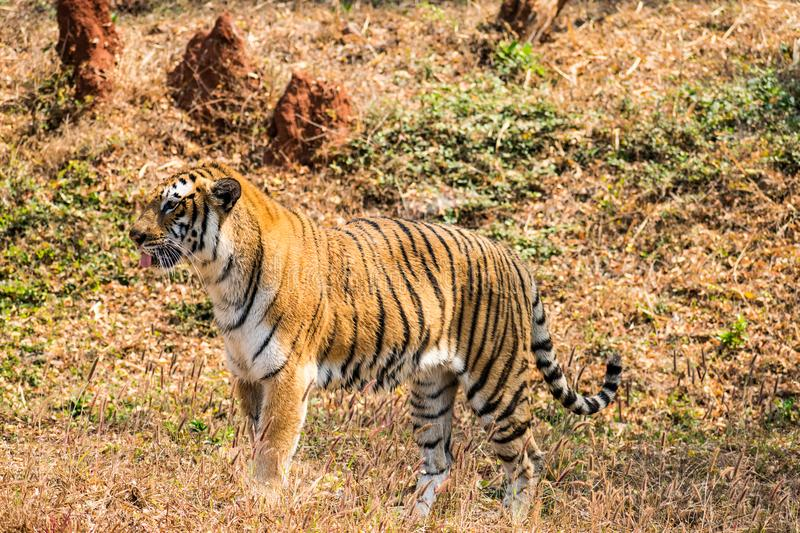 Bengal tiger close view at zoo at different position at national park. royalty free stock images