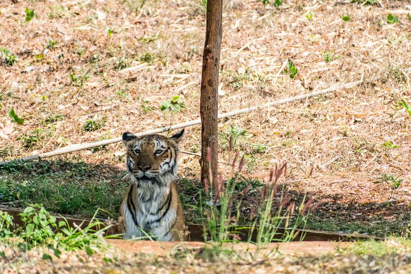 Bengal tiger close view at zoo at different position at national park. stock photography