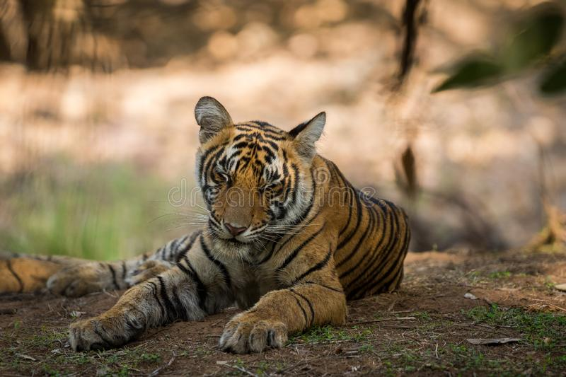Bengal Tiger cub expressions waiting for their mother on a morning safari to ranthambore. Bengal Tiger cub expressions resting in tree shadow and waiting for royalty free stock photo