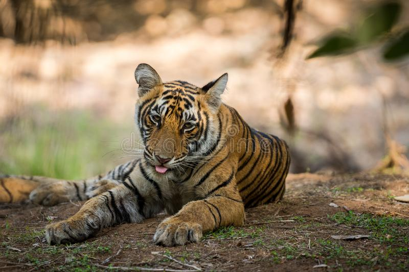 Bengal Tiger cub expressions waiting for their mother on a morning safari to ranthambore. Bengal Tiger cub expressions resting in tree shadow and waiting for stock photo