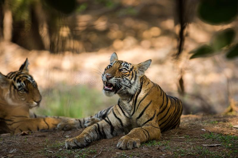 Bengal Tiger cub expressions waiting for their mother on a morning safari to ranthambore. Bengal Tiger cub expressions resting in tree shadow and waiting for royalty free stock photos