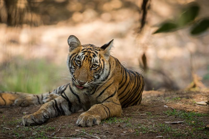 Bengal Tiger cub expressions waiting for their mother on a morning safari to ranthambore. Bengal Tiger cub expressions resting in tree shadow and waiting for royalty free stock photography