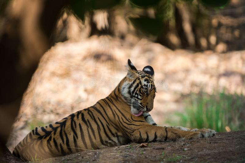 Bengal Tiger cub expressions waiting for their mother on a morning safari to ranthambore. Bengal Tiger cub expressions resting in tree shadow and waiting for stock images