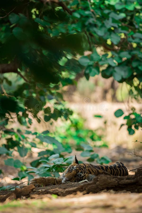 Bengal Tiger cub expressions waiting for their mother on a morning safari to ranthambore. Bengal Tiger cub expressions resting in tree shadow and waiting for stock image