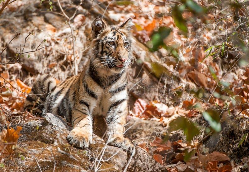Bengal tiger cub in natural habitat. The Bengal (Indian) tiger Panthera tigris tigris. stock photo