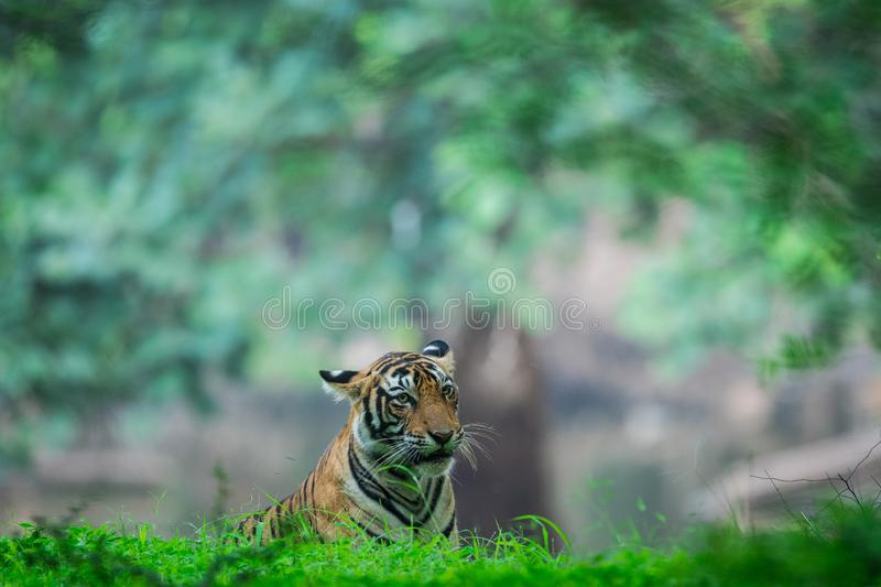 Bengal tiger in a green background royalty free stock photos