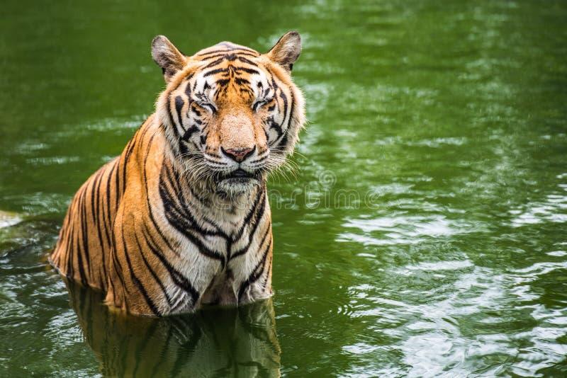 Bengal tiger i skog royaltyfri bild
