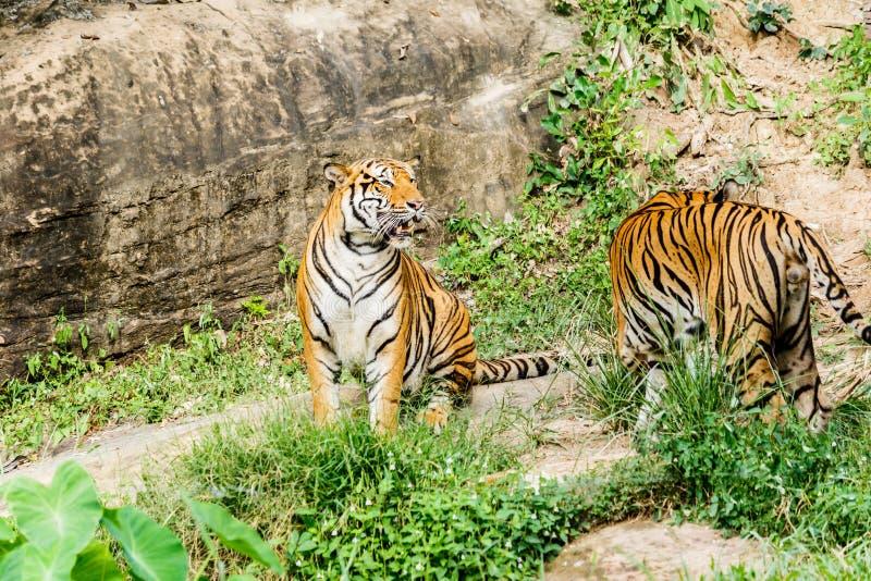 Bengal tiger i skog arkivfoto