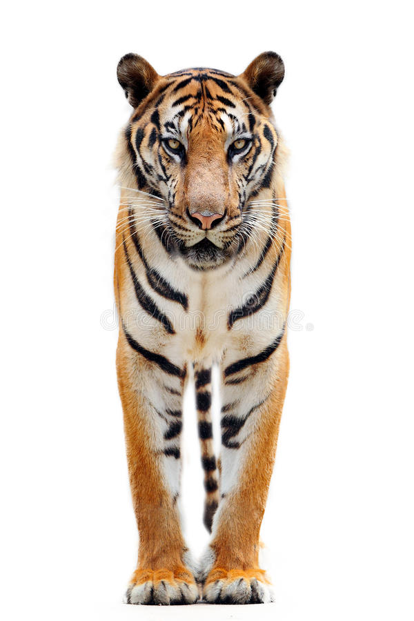 Free Bengal Tiger Isolated On White Stock Photo - 42884930