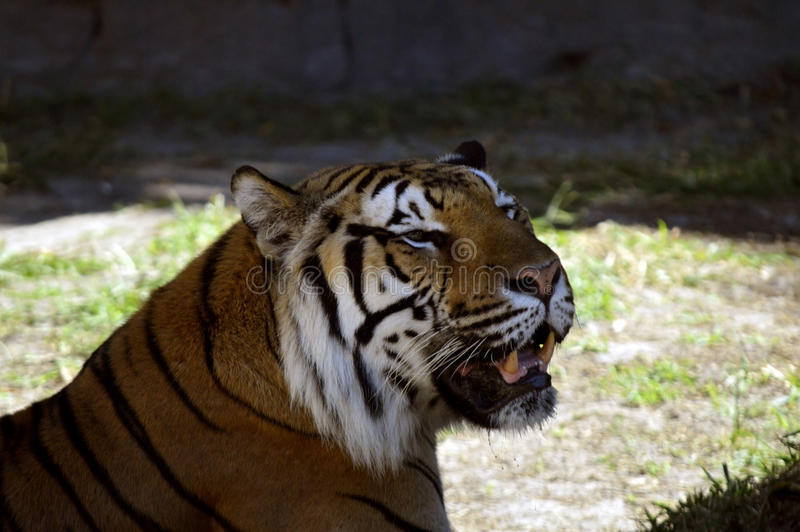 Bengal tiger. Latin name Panthera tigris tigris royalty free stock photography