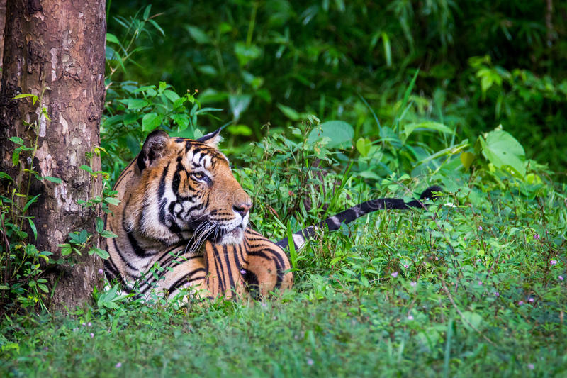 Bengal tiger in lush green habitat. Bengal tiger the largest of all cats in India is seen sitting in forest on a rainy day in evergreen forest stock photo