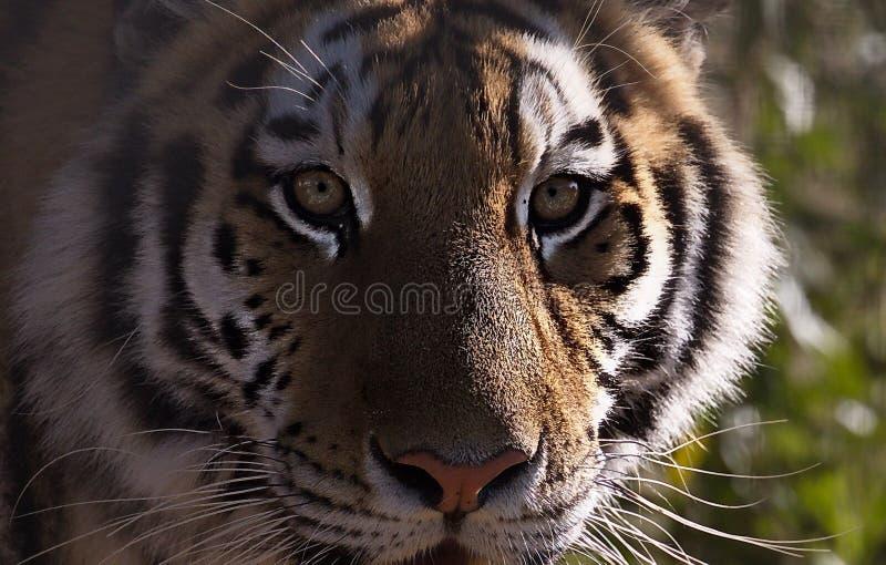 Bengal Tiger royalty free stock photos