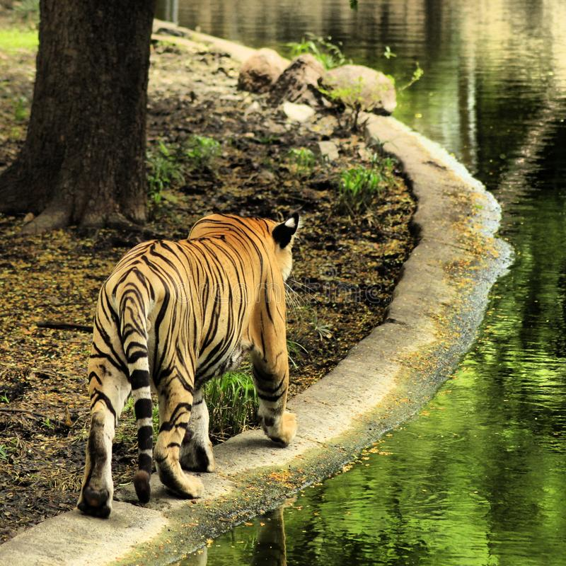 Bengal Tiger. Near the pond royalty free stock photography
