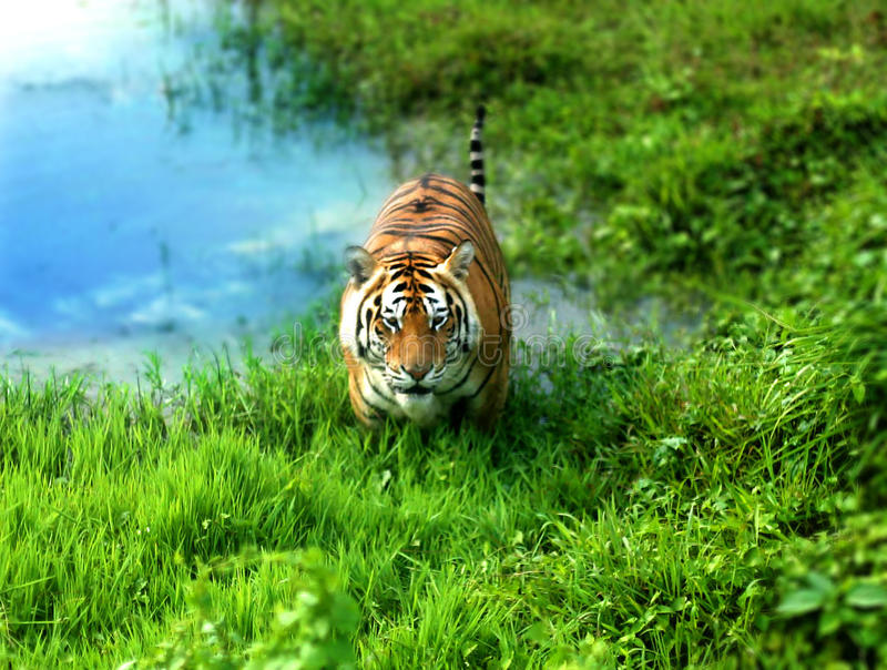 Bengal Tiger. One of the rare tiger species which is called Royal Bengal Tiger royalty free stock images