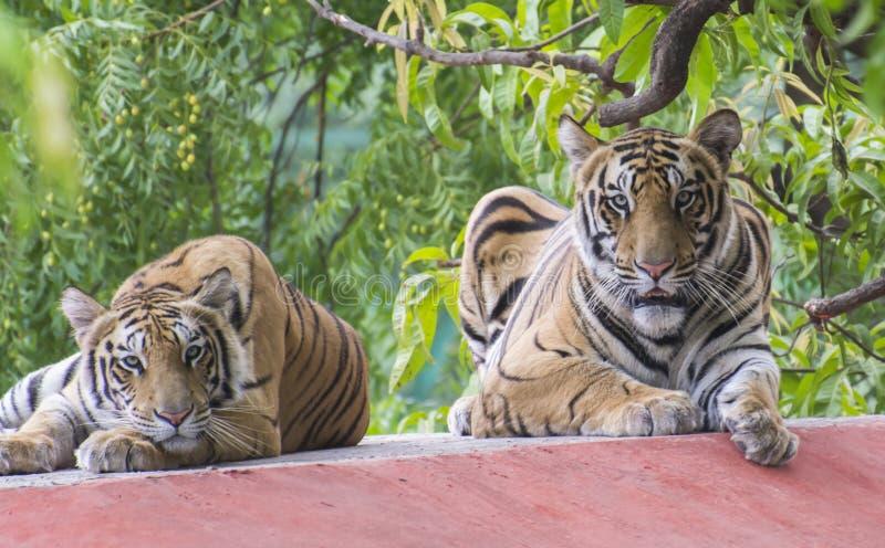 Bengal Tiger Pair. Pair of Royal Bengal Tiger (Panthera tigris tigris) resting royalty free stock photos