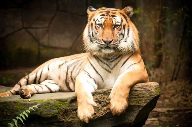 The Bengal Tiger. Panthera tigris tigris is the most numerous tiger population in Asia, and was estimated at fewer than 2,500 individuals by 2011 royalty free stock photo