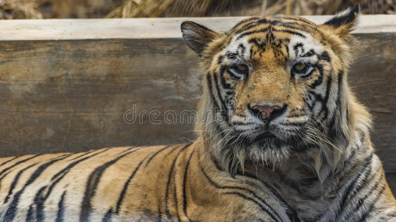 Closeup of a Tiger  - Intense Eyes. The Bengal tiger is a Panthera tigris tigris population in the Indian subcontinent. It is listed as Endangered on the IUCN stock photo